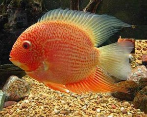 Heros Severum red spotted_o